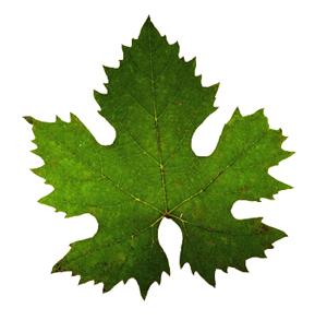 Wine Blog » Blog Archive » Wine Grape Varietal Leaves
